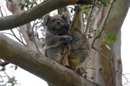 Koala and joey!