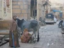 Cidade velha, meio da rua, vaca sendo ordenhada