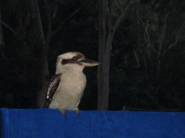 Kokaburra um pássaro que toma sua comida e ainda ri de você