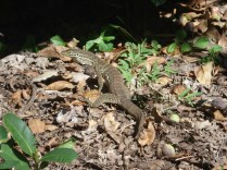 Na trilha para Bicton Hill vimos esse gecko passeando