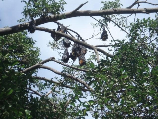Morcegos frutíferos pendurados na árvore