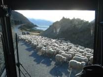 Fomos parados na estrada por uma massa controlada de ovelhas. Só na NZ.