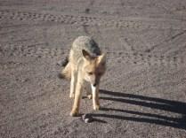 Vimos uma raposa