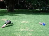 Tem uma criação enorme de pavões passeando pelos jardins do museu