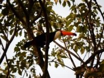 Tucanos nas árvores do hotel