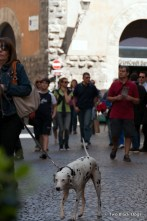 Dalmatian, Orvieto