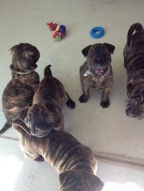 Shar pei puppies born at the Animal Welfare League, October