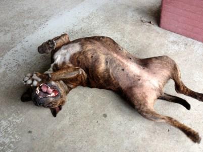 Aretha the staffordshire bull terrier