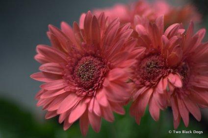 Pink gerberas from our garden