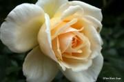 Roses in the Memorial garden at Akaroa