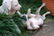 Puppies2013-146