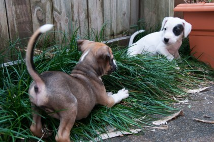 Puppies playing in the mondo grass