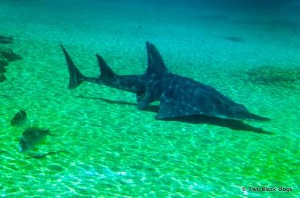Shovel nose shark