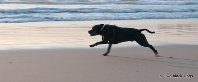 Bundy the dog races across the sand