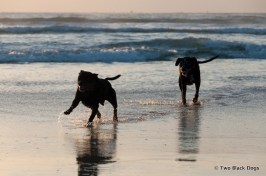 Two black doggies dashing through the waves