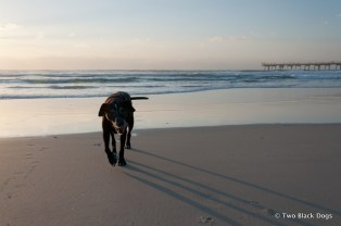 Maxi the dog out for a casual stroll on the beach
