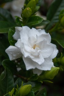 Sweet smelling Gardenia flower