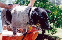 Our old dog Missy having a bath in the wheelbarrow