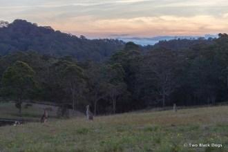Wallabies at dusk