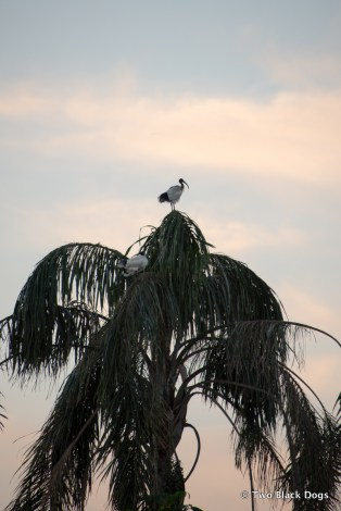 Ibis on a palm tree