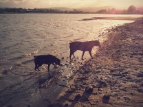 Bundy and Maxi walking in the water at the lake