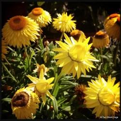 Everlasting daisies