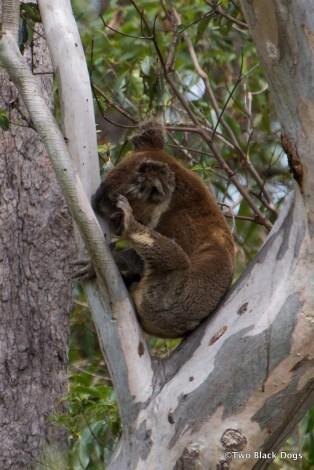 Koala2014-3659