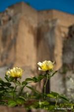 Orvieto roses