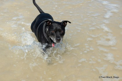 Bundy the dog in the water