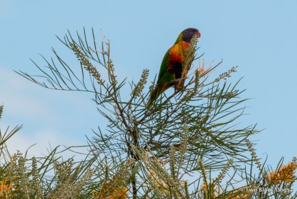 Rainbow Lorikeet in Grevillea tree