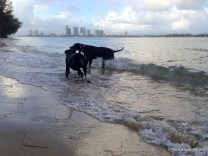 Two black dogs at the beach