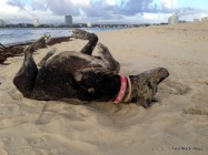 Maxi the dog rolling in something smelly in the sand