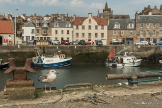 Pittenweem gull and harbour
