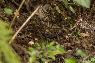 A glimpse of a goanna in the undergrowth
