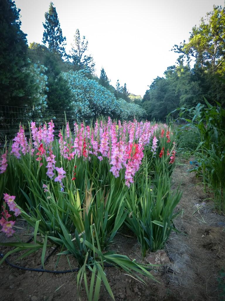 Gladioulus in bloom