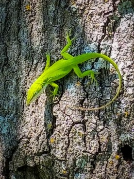 bright green lizard resting on vertial tree trunk, green accentuated by sunlight on the lizard's head
