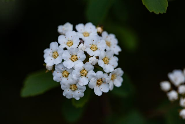 small cluster of five-petal spirea blossoms on deep field of green