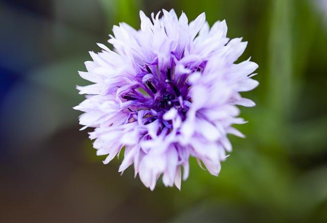 Purple cornflower boom