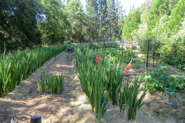 rows of gladiolus with a few red ones in bloom