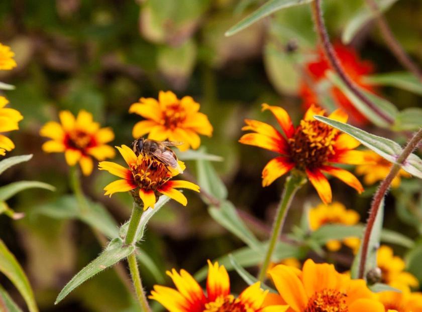 A honeybee on a yellow flower