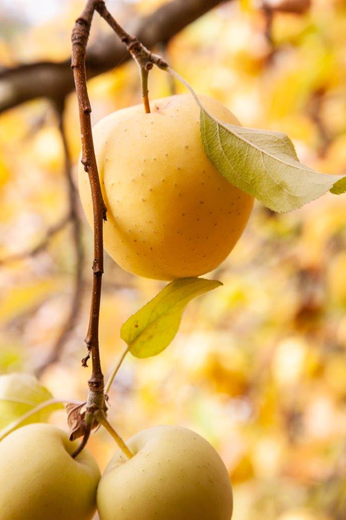 yellow apples hanging on a limb against a sea of yellow leaves in the background
