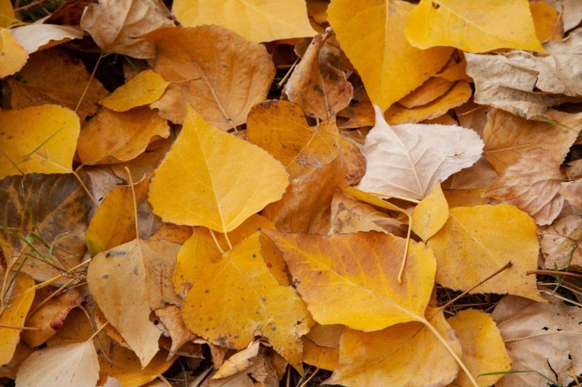 A layered carpet of yellow leaves lay on the ground.