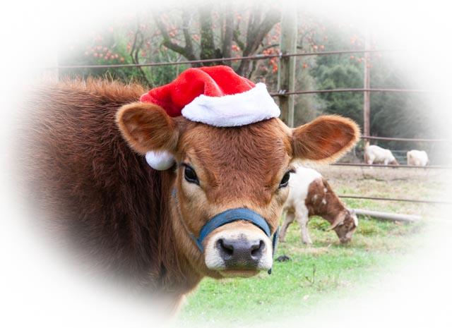 Jersey cow in santa hat