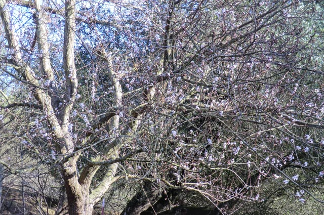 a plum tree with light pink blossoms