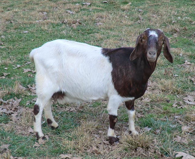 Side view of brown and white goat