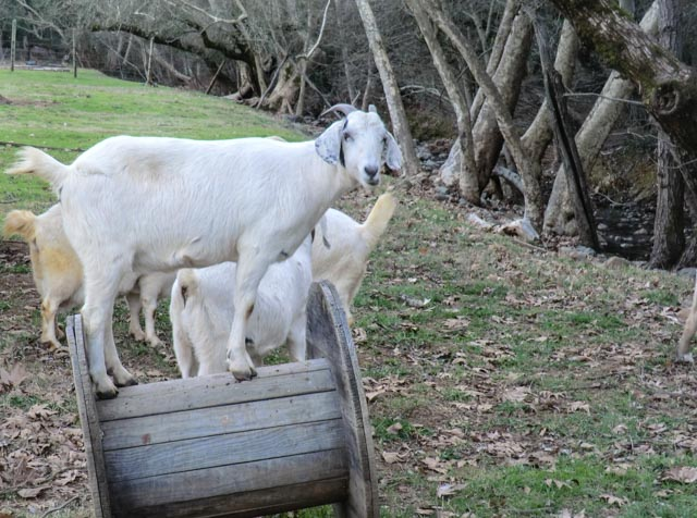 Goat standing on wire spool