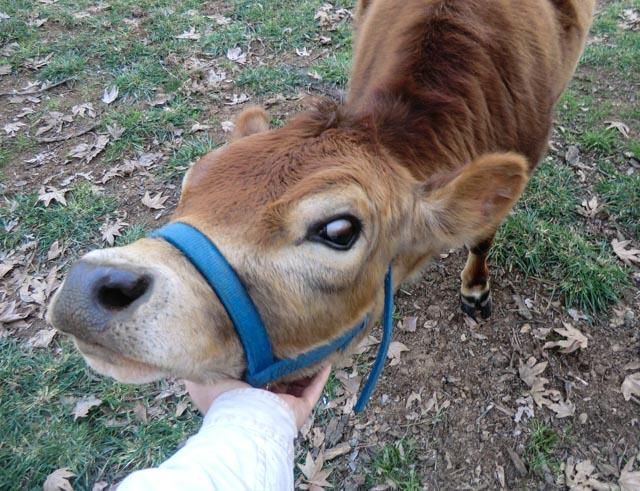 Heifer getting neck scratched