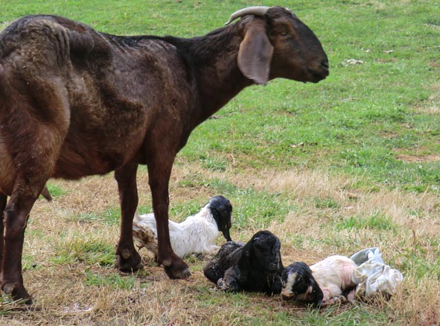 a mother goat standing over three newborn goat kids, one brown and two black and white