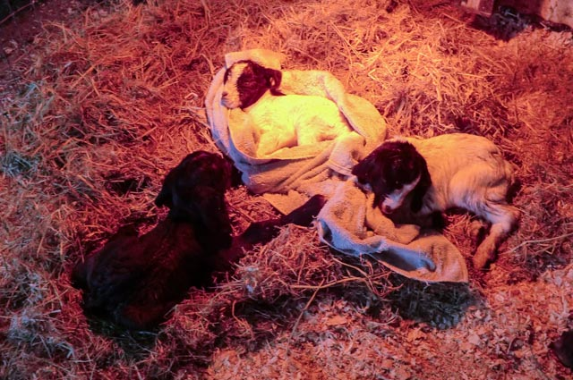 three goats asleep on straw and towels under a heat lamp