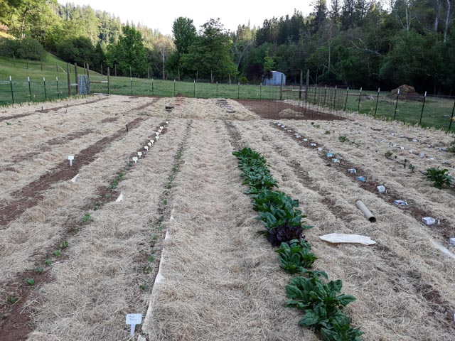 a large, fenced vegetable garden with rows of green, growing plants and straw mulch covering the soil